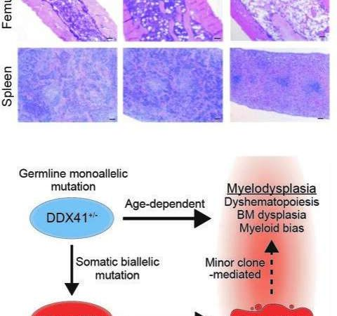Minor cell population plays major role in triggering a silent subset of inherited MDS cases